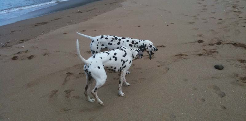 Dalmatians playing at the beach