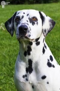 alice dalmatian photo