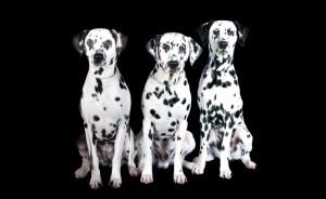 group of Dalmatians 1