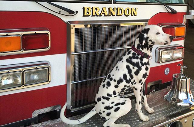 Dalmatian with fire engine