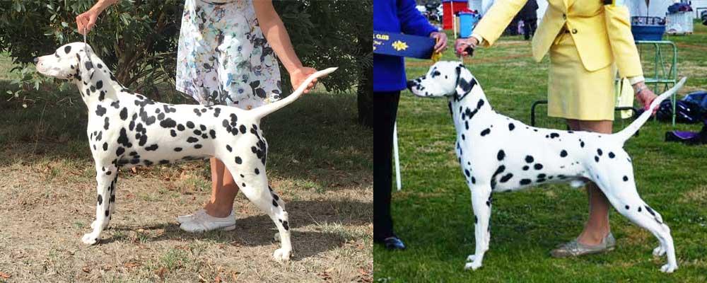 Dalmatian Litter Sire and Dam