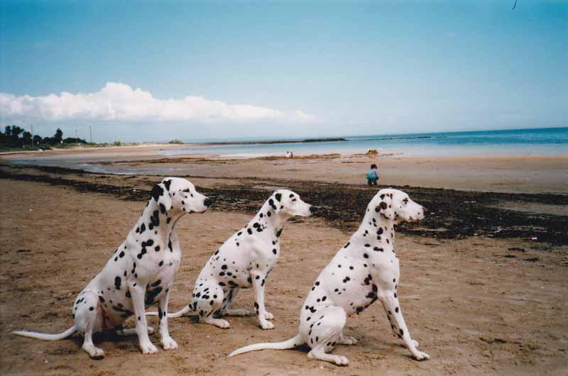 Dalmatian Dog Obedience training