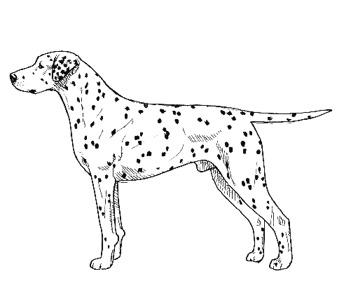 Dalmatian standard