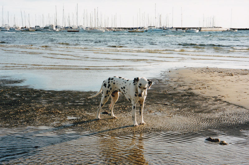 Dalmatian - ashleigh