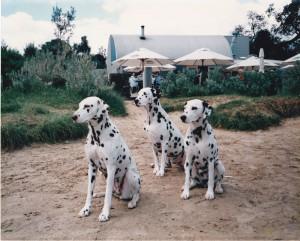 Dalmatians - Ashleigh, Jazz and Scarlet Rickett Pt Beach