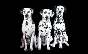 group of Dalmatians 1