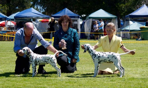 CCDalmatian Puppies Excel In the Show Ring