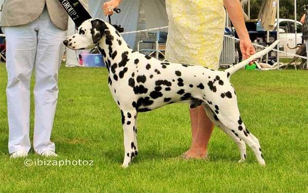 Dalmatian - apollo