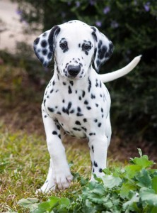 domino-puppy-face