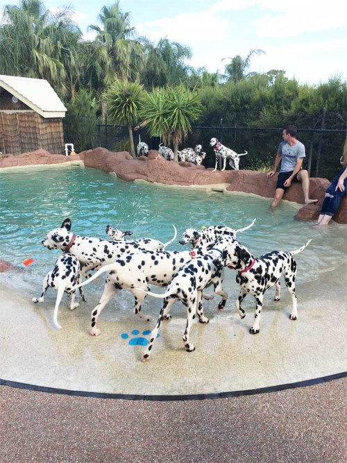 CCDalmatians Puppy Party 2017…..Puppies Galore
