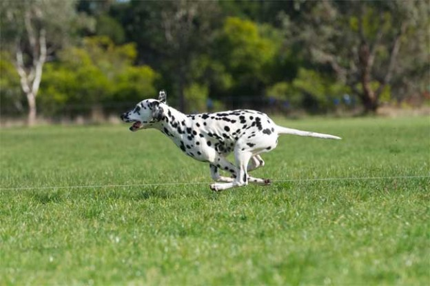 Beauty and Speed Australian Champion CCDals Calvin Klein Iconic Fame – Junior Courser