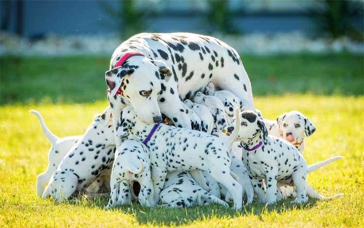 Miley-Feeding-Puppies
