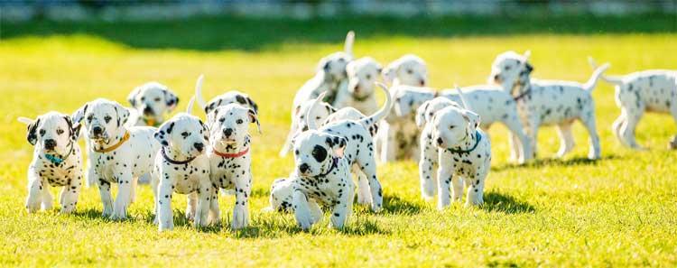 Miley-Puppies-Running