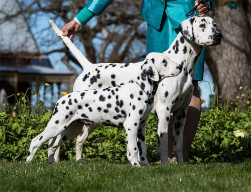 CCDalmatians Glamour Photo Shoot