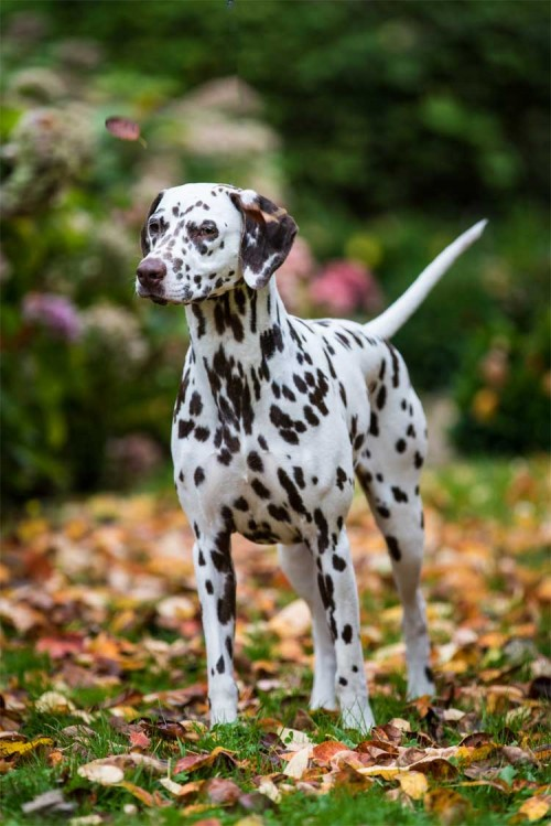 CCDalmatians Puppies Expected November 2017