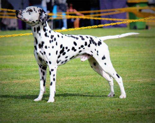 Aust Ch CCDals Calvin Klein Iconic Fame JC ET Excels In Wodonga In The Show Ring
