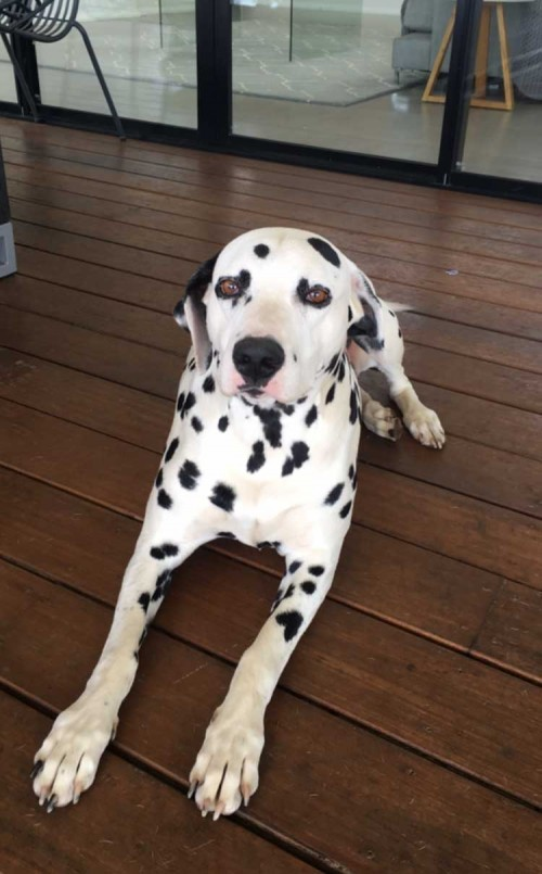 Internationally Famous Litter of 18 Dalmatian Puppies Turn 6 Months of Age