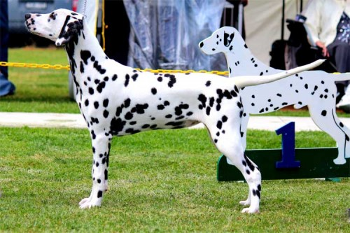 Dalmatian Club Of Victoria Jubilee Specialty Championship Show & Sunbury Canine Club Championship Show
