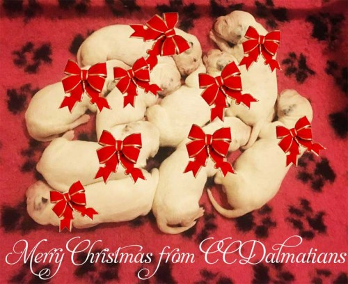 Merry Christmas from CCDalmatians 2017
