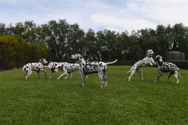 CCDalmatians Puppy Party – Internationally Famous Dalmatian Litter of 18