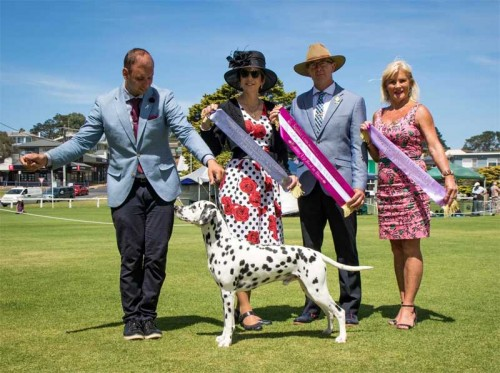 RUBIS Aust Ch Calvin Iconic Fame JC ET – Number One Dalmatian Nationally for the Bred In Australia